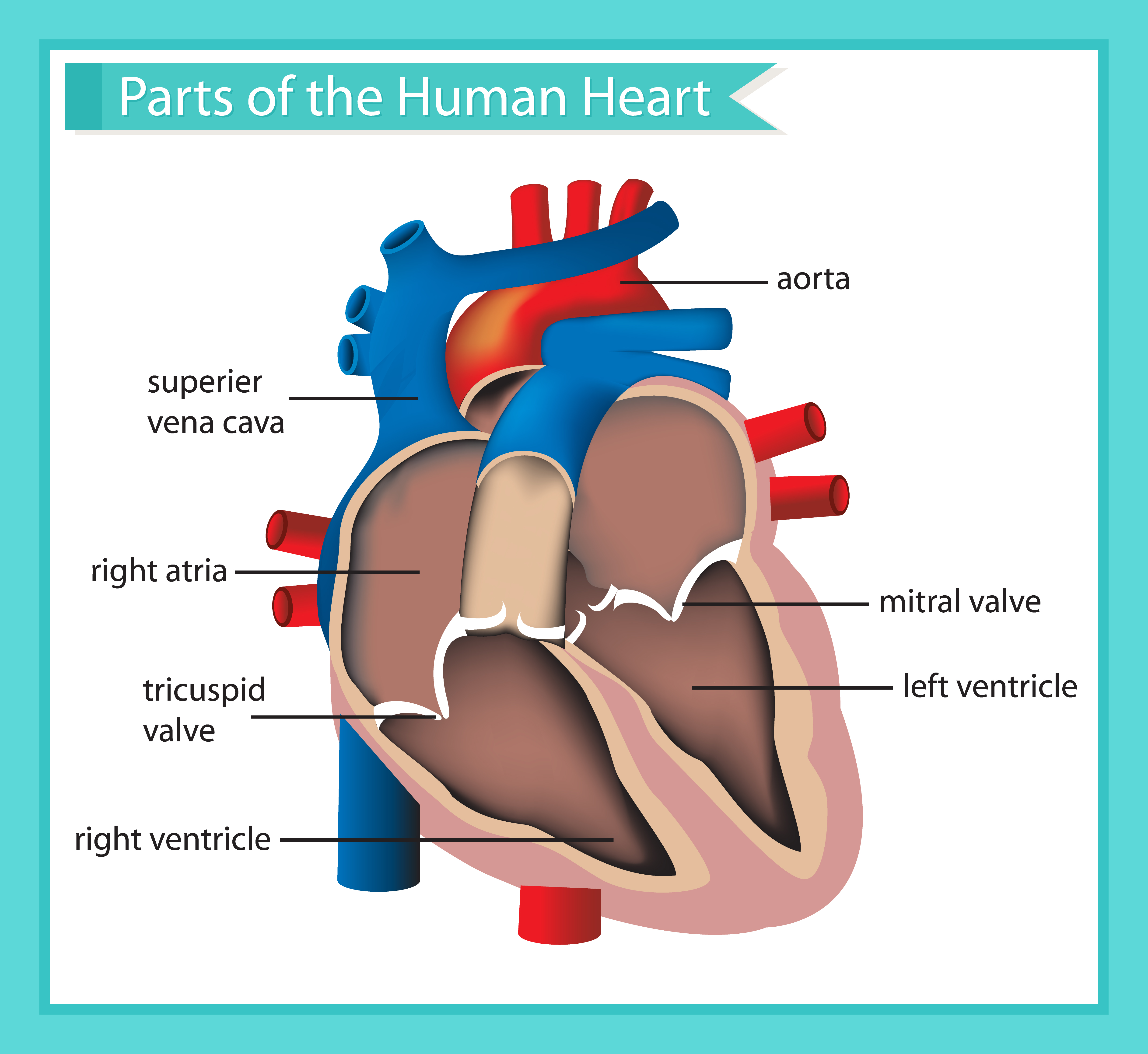 Scientific medical illustration of parts of the human ...