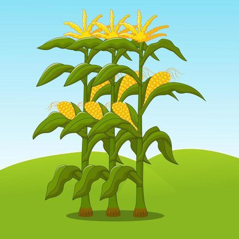 talos de milho com o céu bonito