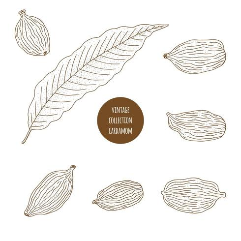 Cardamom. Hand drawn set of cosmetic herbs isolated on white background.