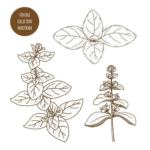 Marjoram. Hand drawn set of cosmetic herbs and plants isolated on white background.
