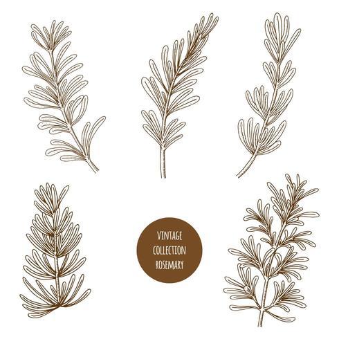 Romarin. Ensemble dessiné à la main d'herbes cosmétiques et de plantes isolées sur fond blanc.