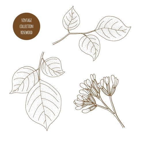 Palo de rosa. Conjunto dibujado a mano de hierbas cosméticas aisladas sobre fondo blanco.