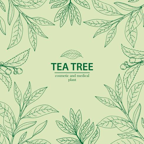 Tea Tree plant in outline style. Hand drawn herbal background.