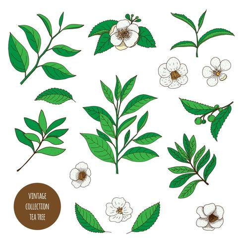 Tea Tree. Hand drawn vintage set of aromatherapy plants.