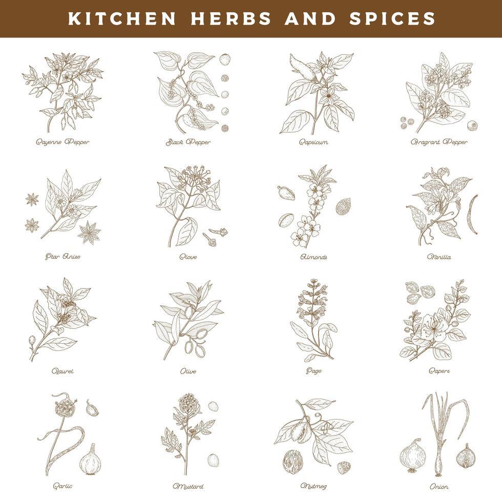 Cocina hierbas y especias. Conjunto dibujado a mano botánica vintage vector