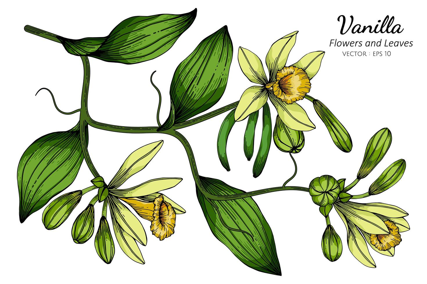 Vanilla flower and leaf drawing vector