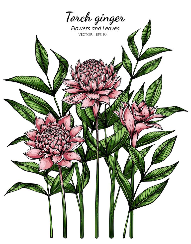 Pink Torch ginger flower and leaf drawing vector