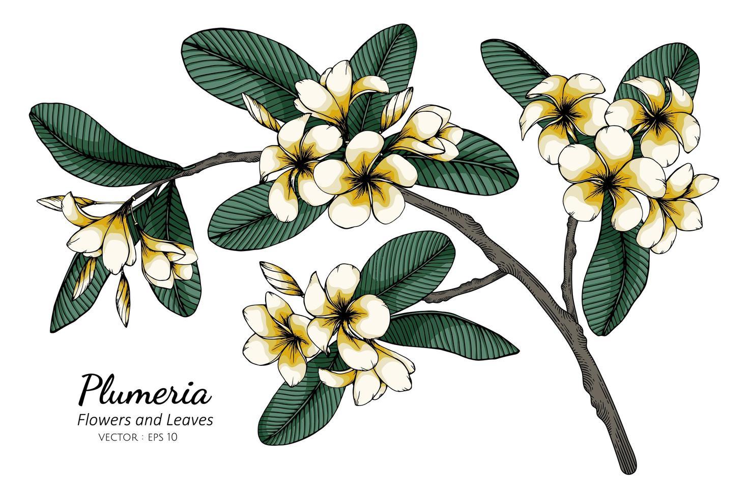 Plumeria flor y dibujo de hoja vector