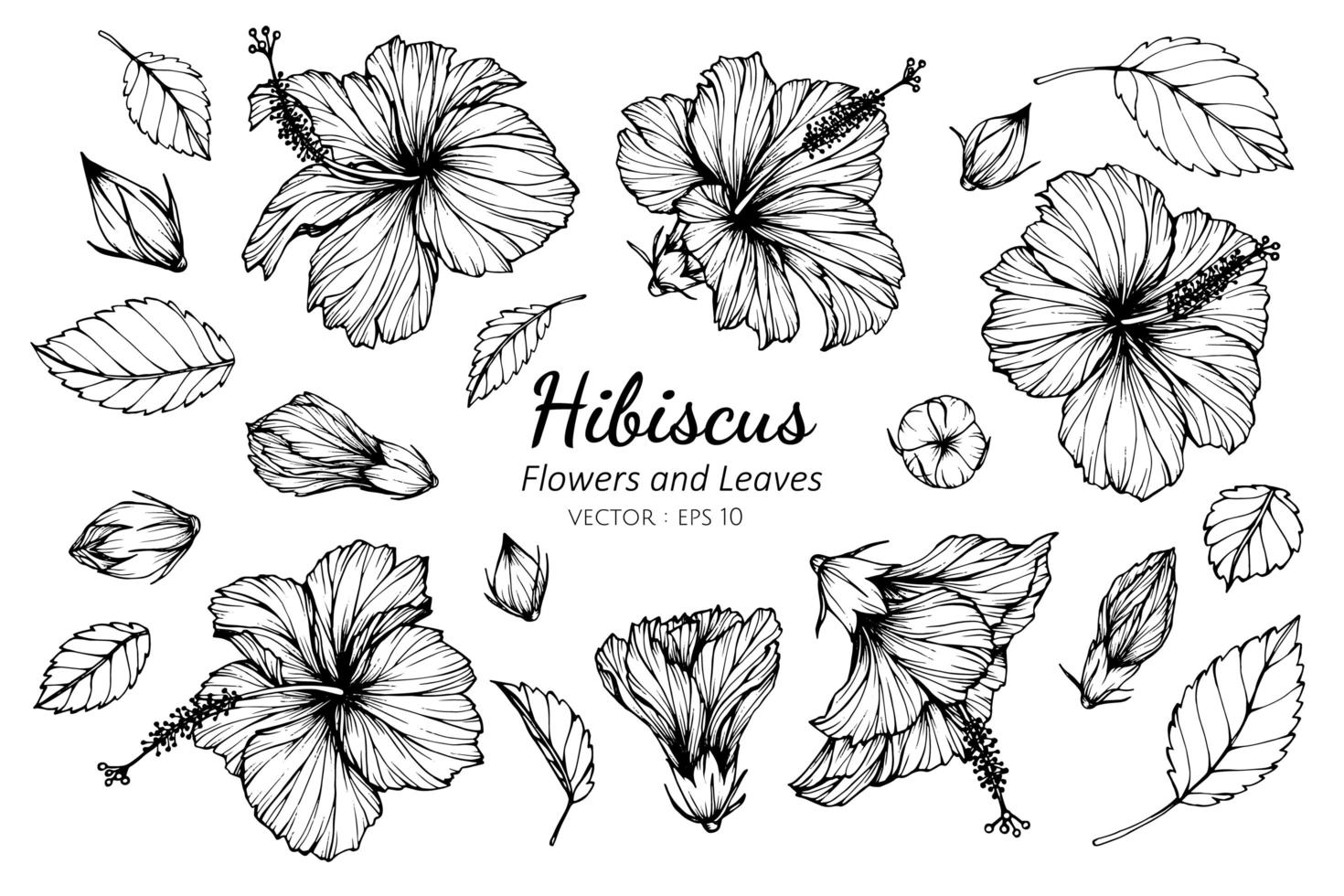 Collection of Hibiscus flowers and leaves vector