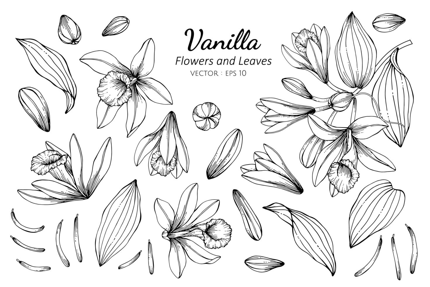 Collection of Vanilla flowers and leaves vector