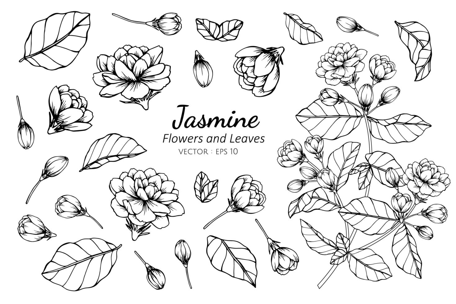 Collection of Jasmine flowers and leaves vector