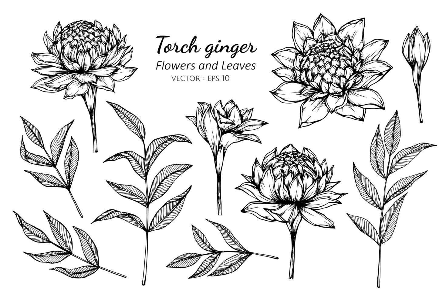 Collection of Torch Ginger flowers and leaves vector