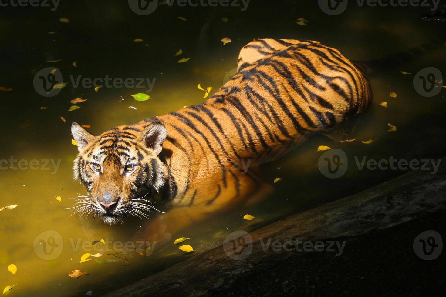 tigre du Bengale photo