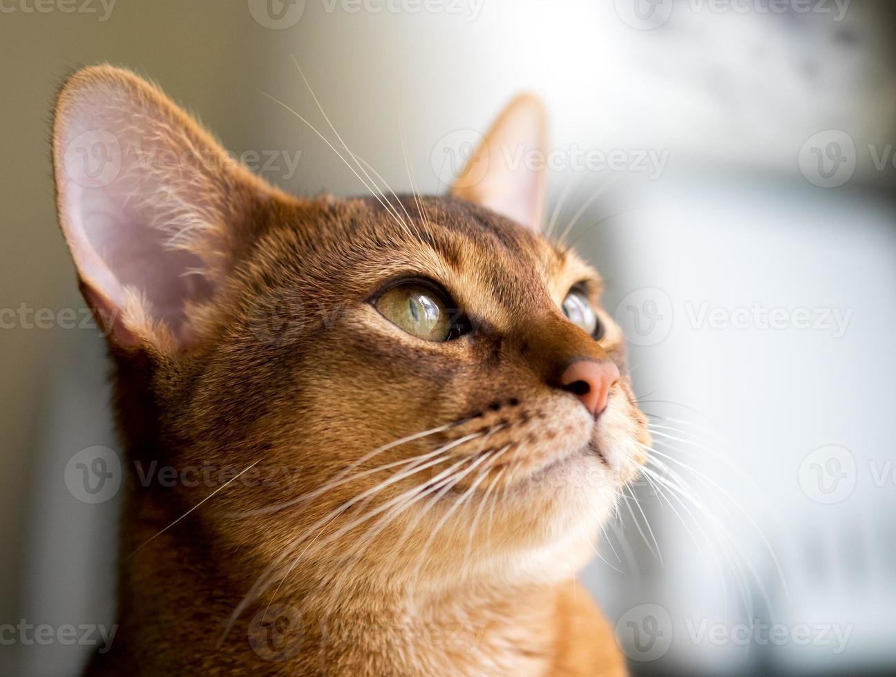 gato abisinio de raza pura foto