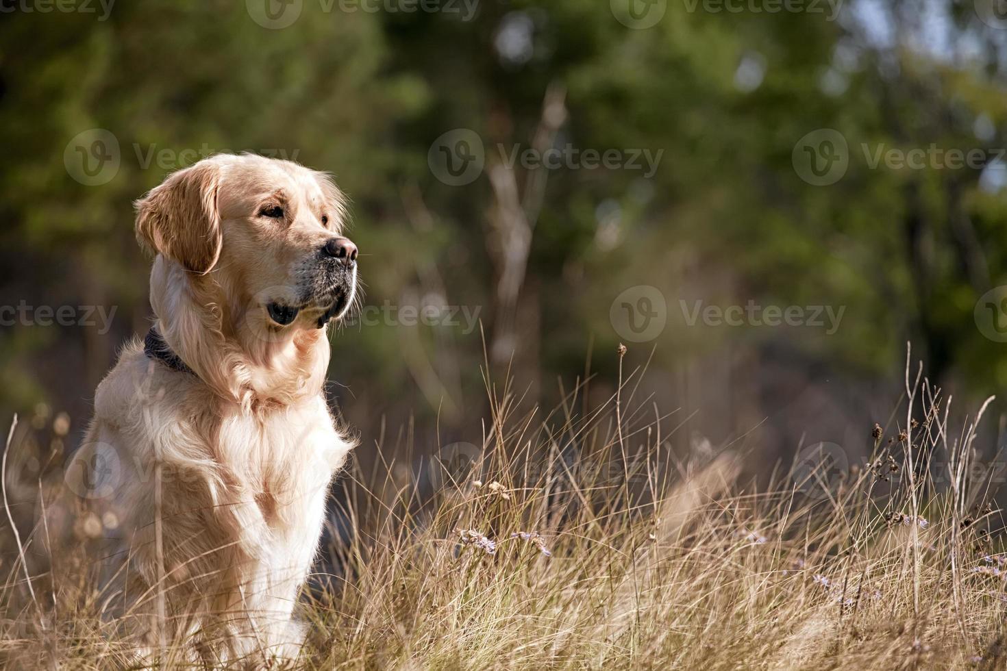 golden retriever al aire libre foto