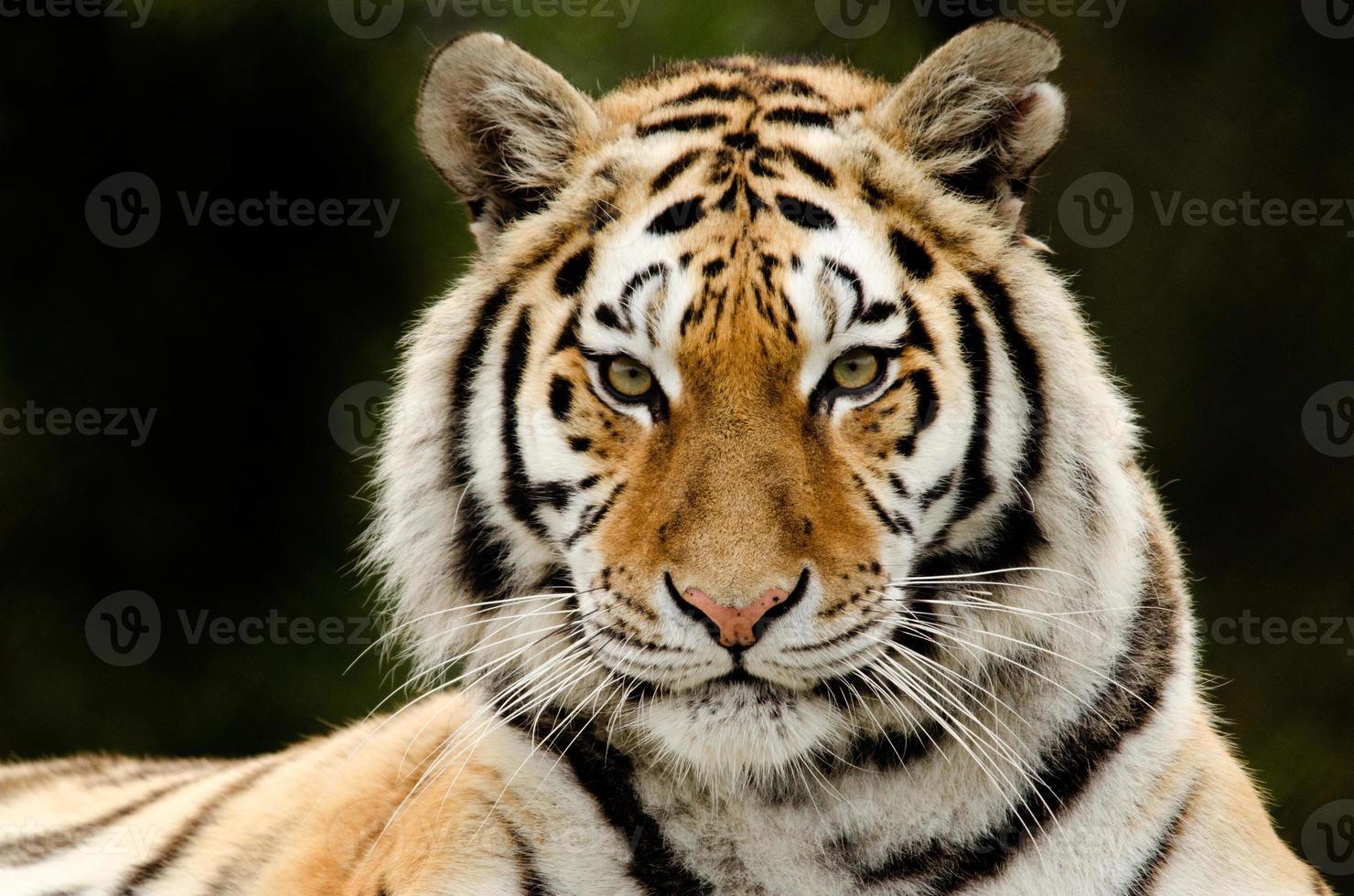 mirada de tigre foto