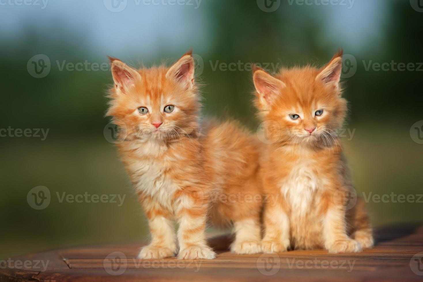 two red kittens outdoors photo