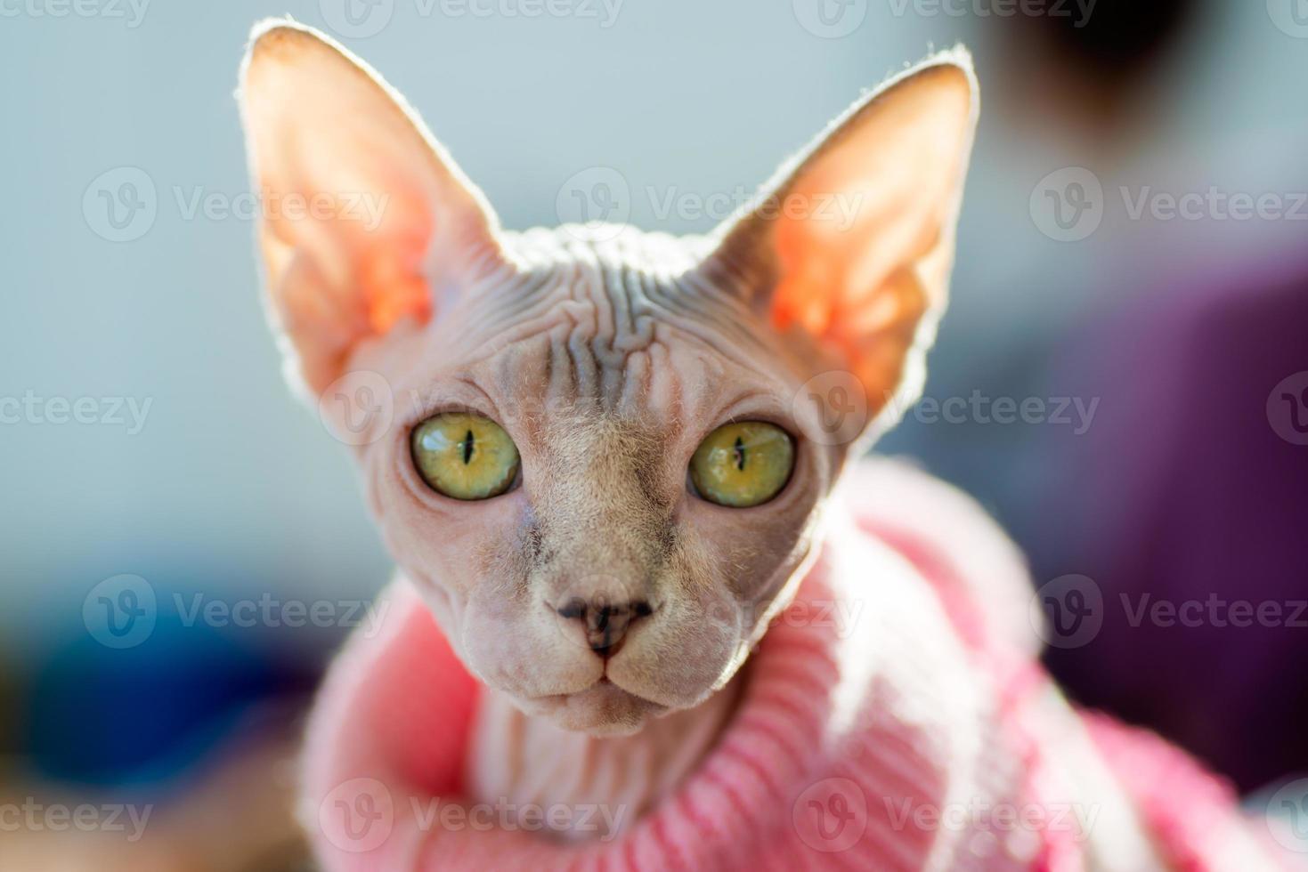 gato sphynx foto
