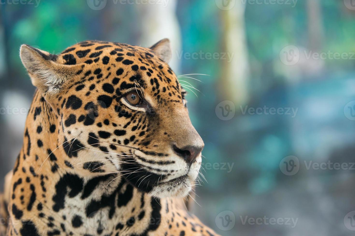 jaguar ( Panthera onca ) photo