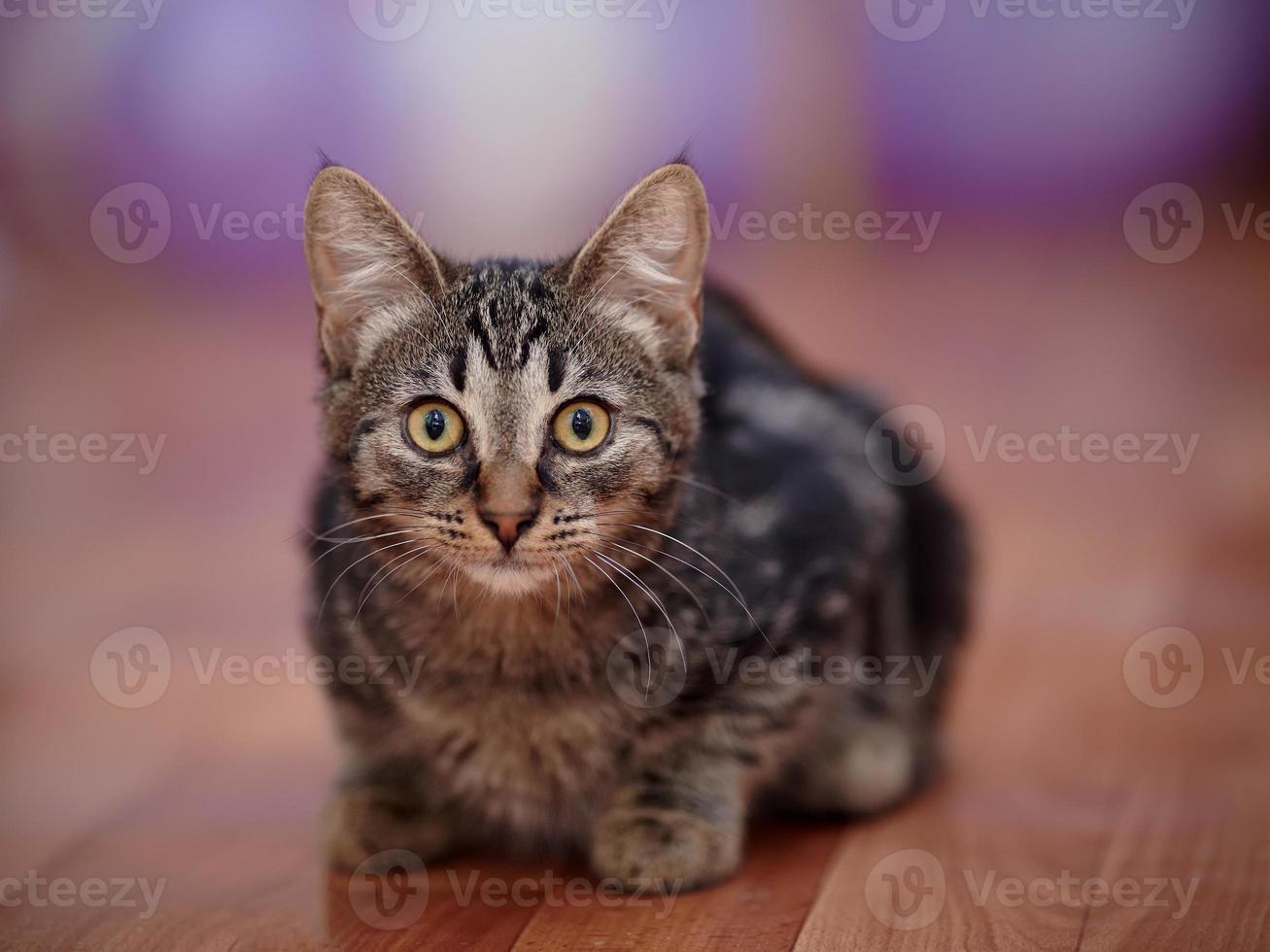 gatito doméstico rayado foto