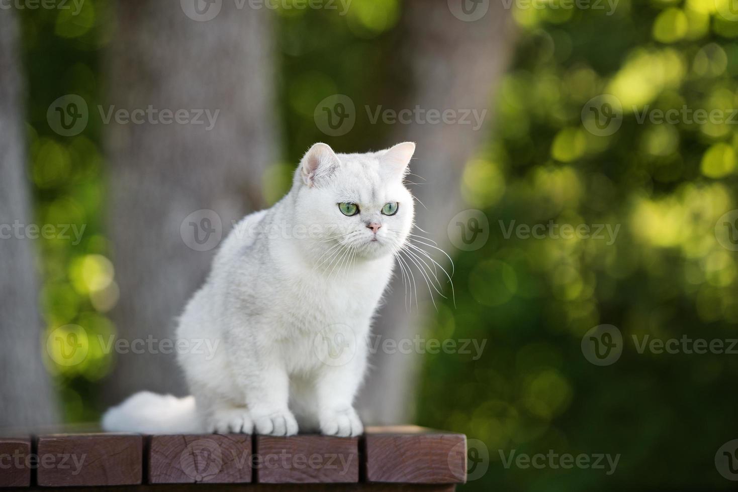 gato británico de pelo corto al aire libre foto
