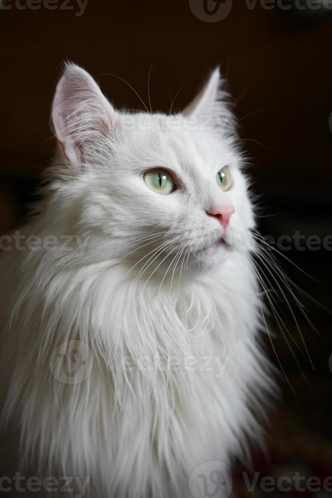 White cat photo