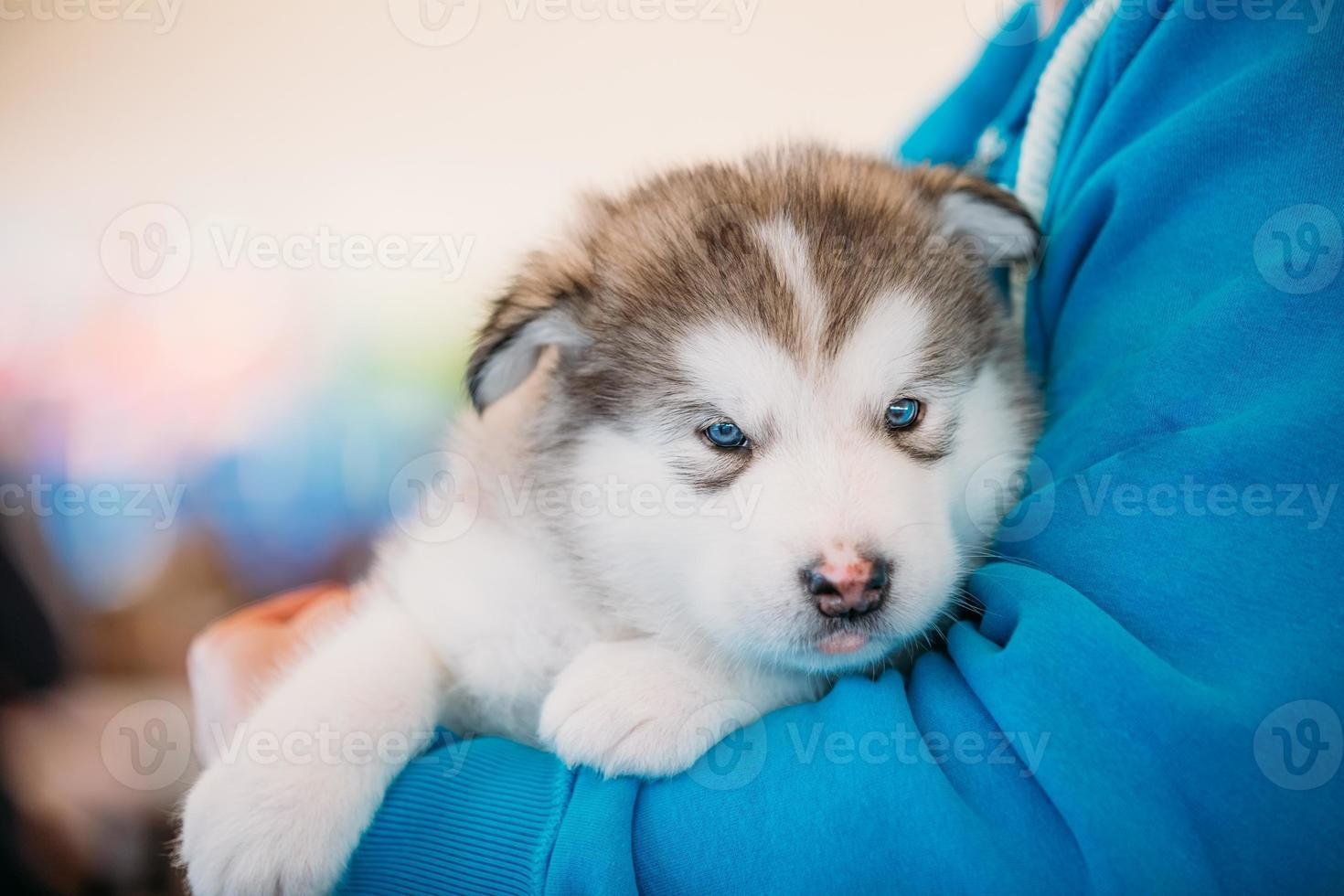 Alaskan Malamute puppy Dog sits in hands of owner photo