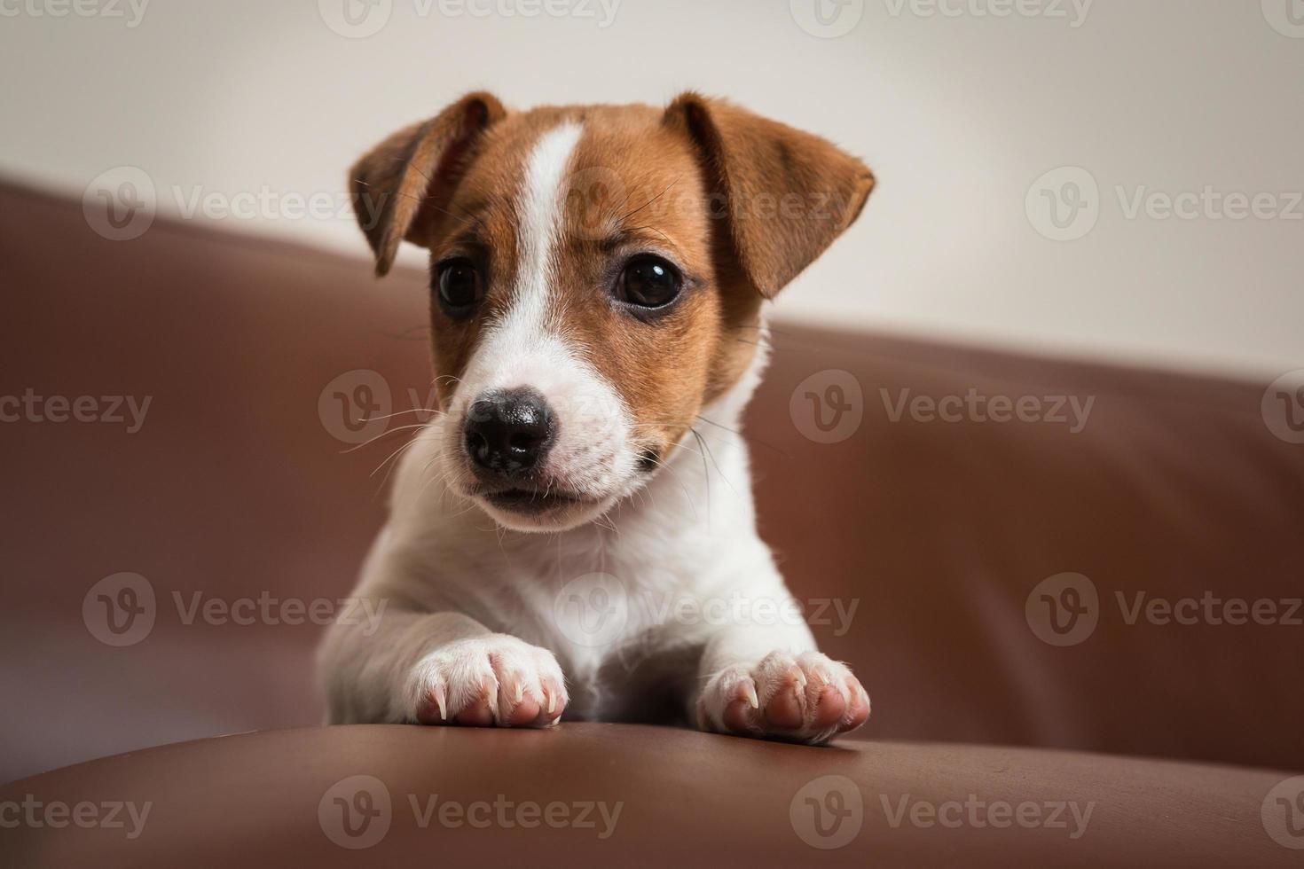 Jack Rassell terrier puppy photo