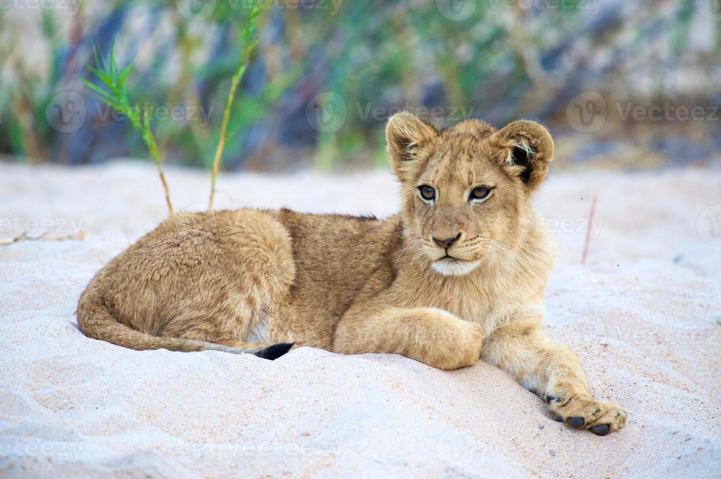 Zuid-Afrikaanse leeuw serie # 9 vorstelijk welp frontaal schot foto