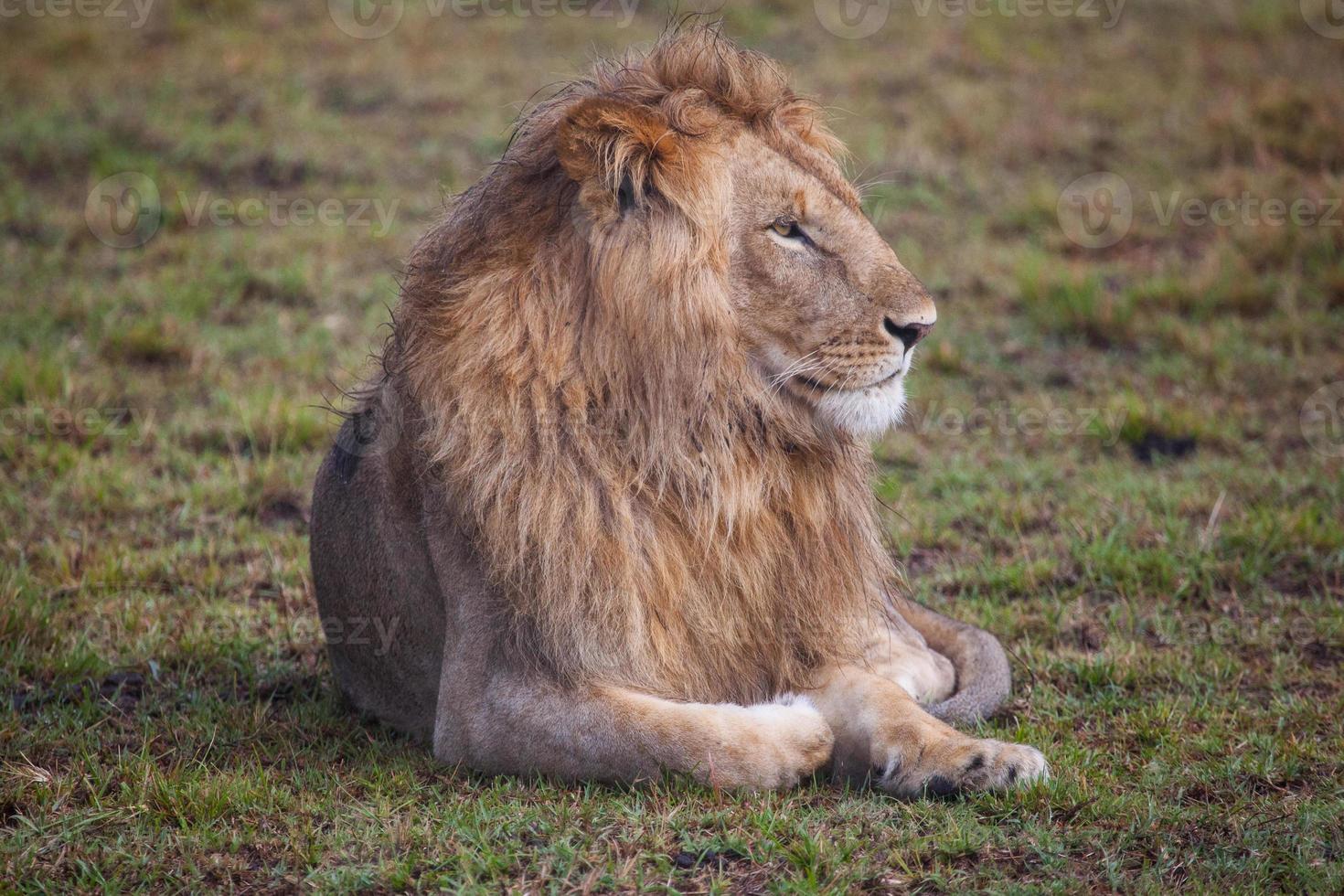 león tumbado en la hierba verde foto