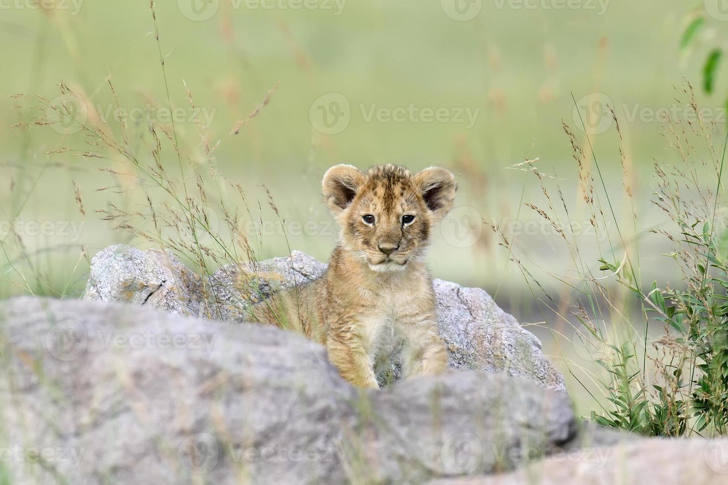 Filhote de leão foto