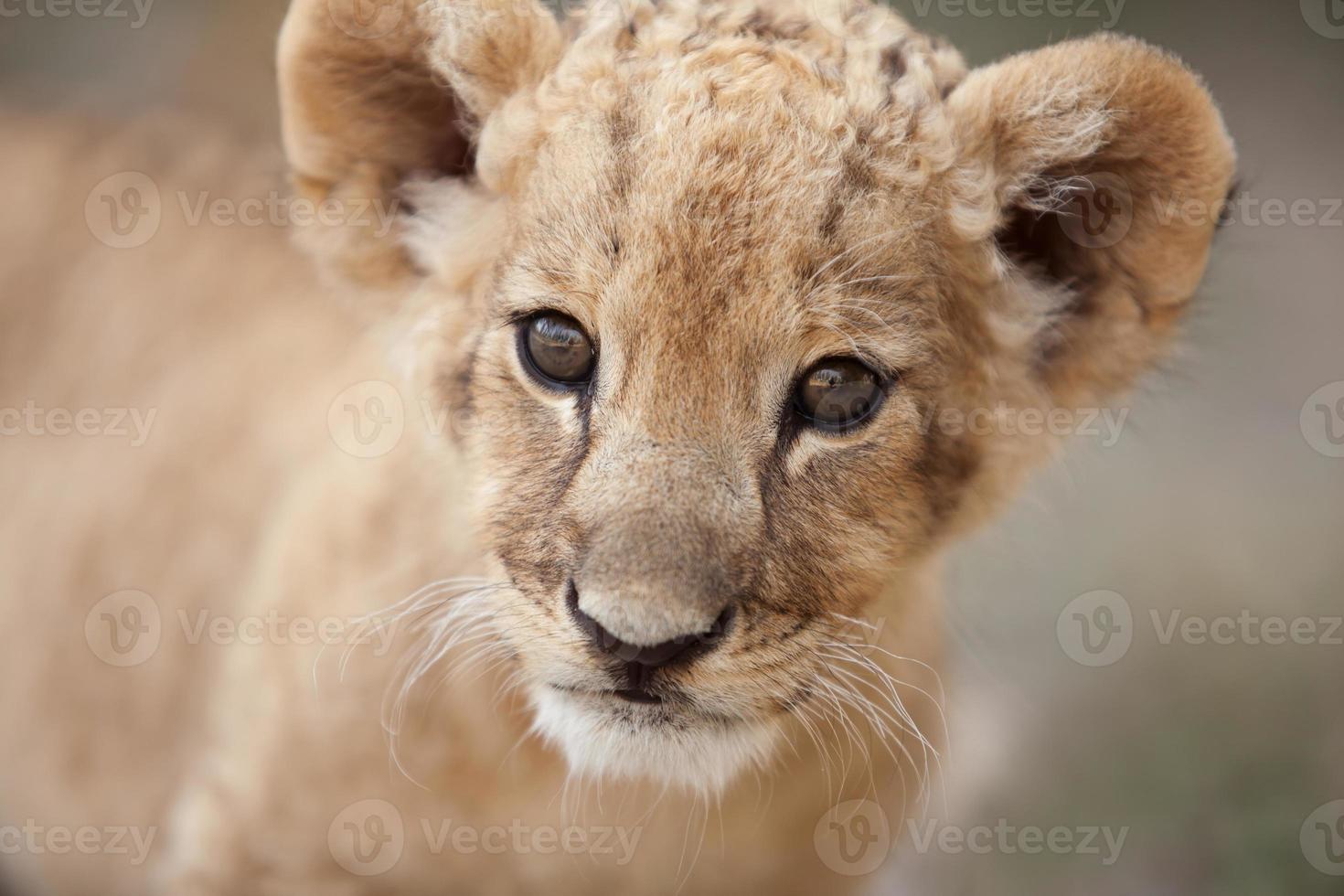 Retrato de lindo cachorro de león pequeño mirándote foto
