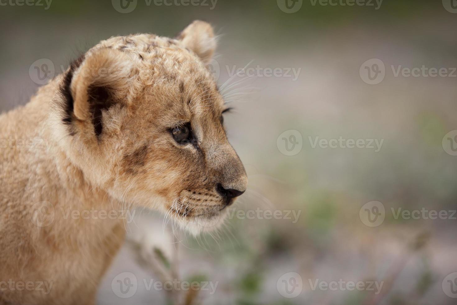 Portrait of cute little lion cub photo