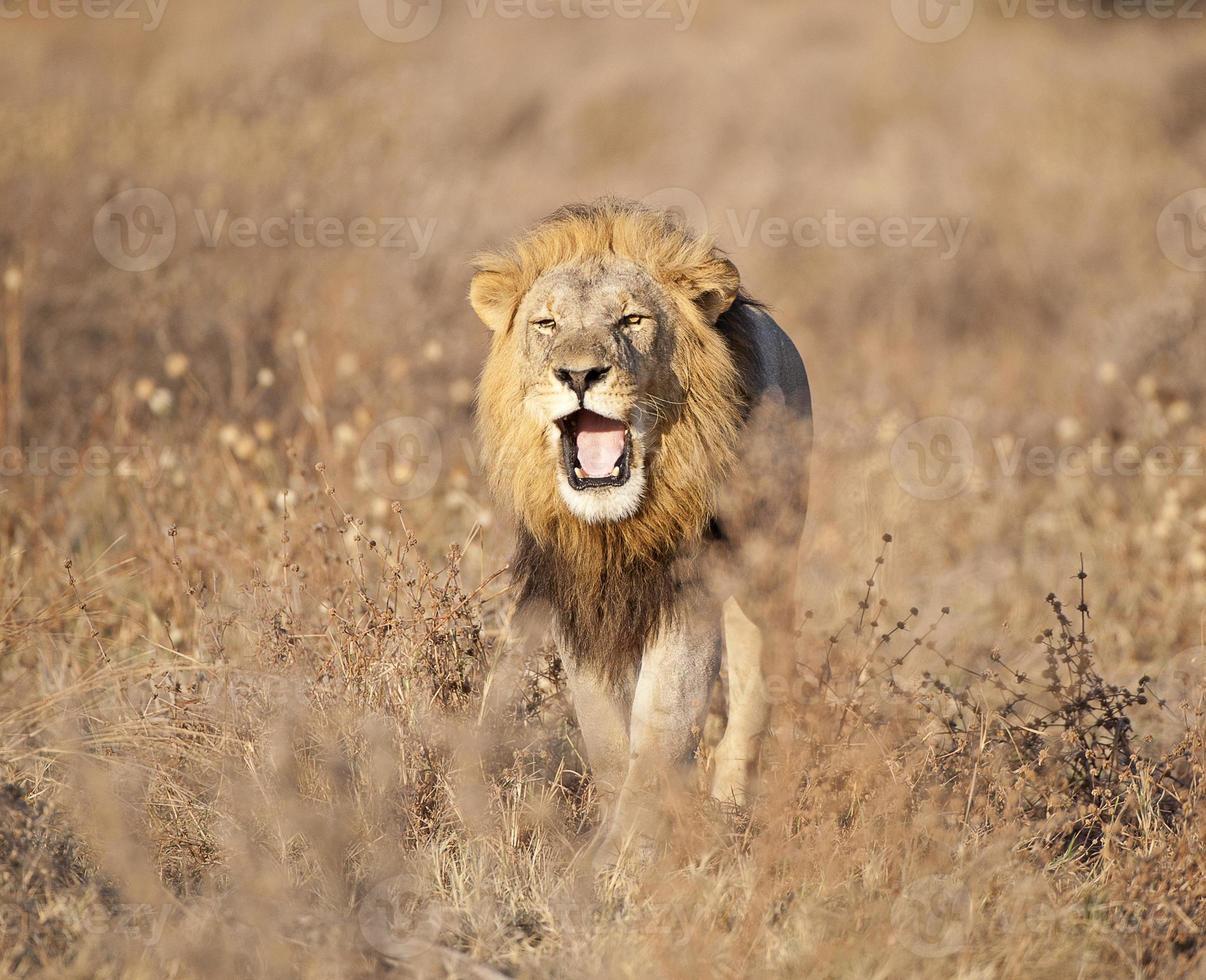 Roaring lion, Savuti Marsh, Chobe, Botswana photo