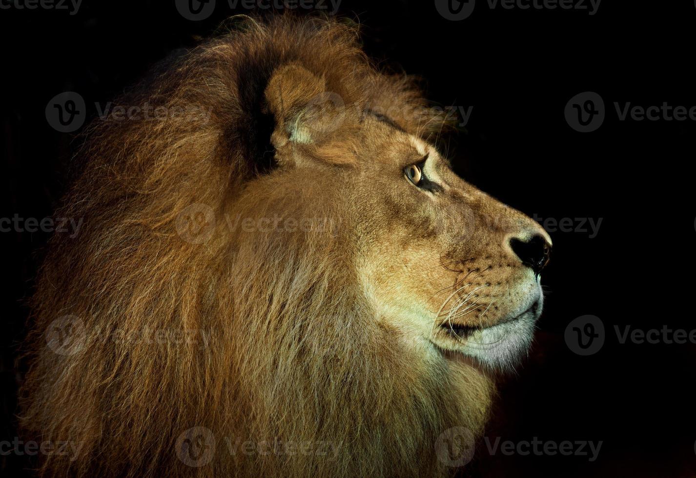 arrogant lion photo