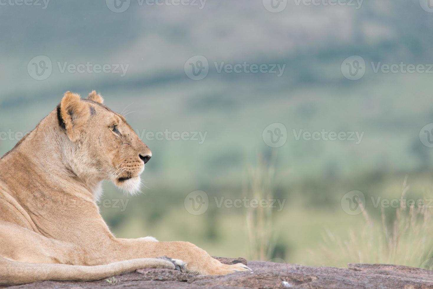 Lion looking in the distance photo