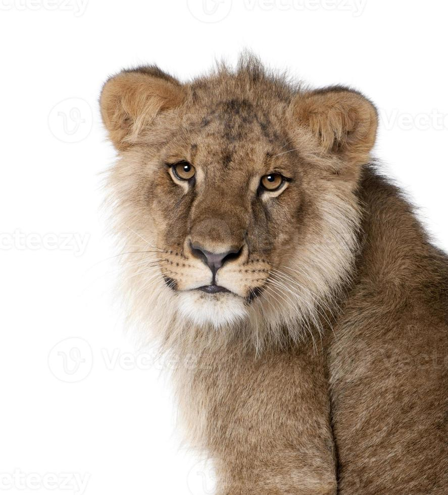 Lion, 9 months old, in front of a white background photo