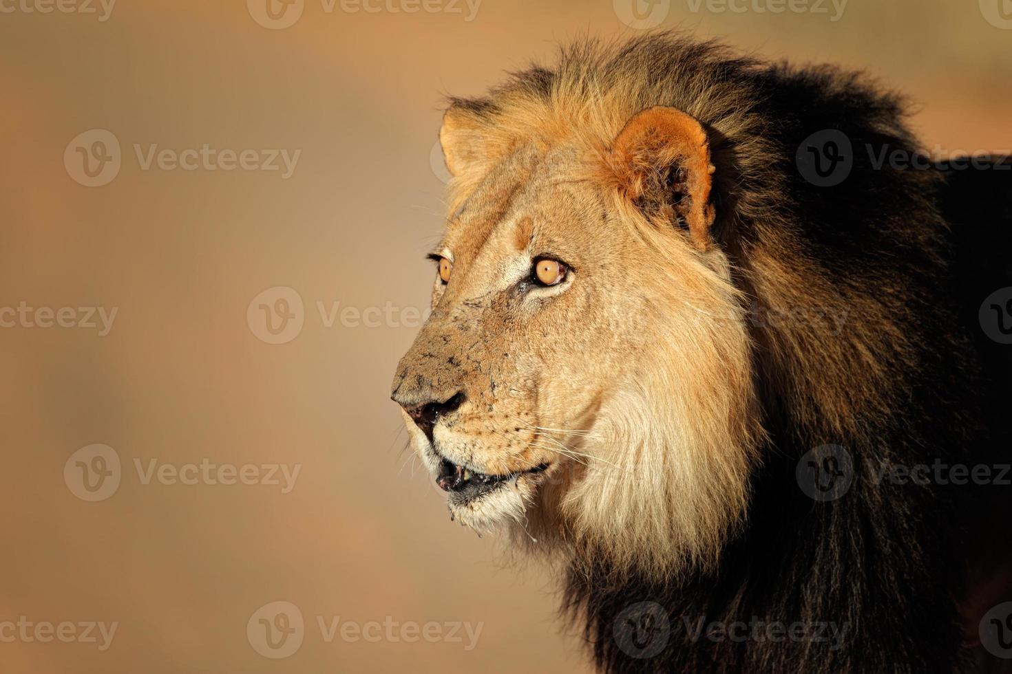 Retrato de león africano foto