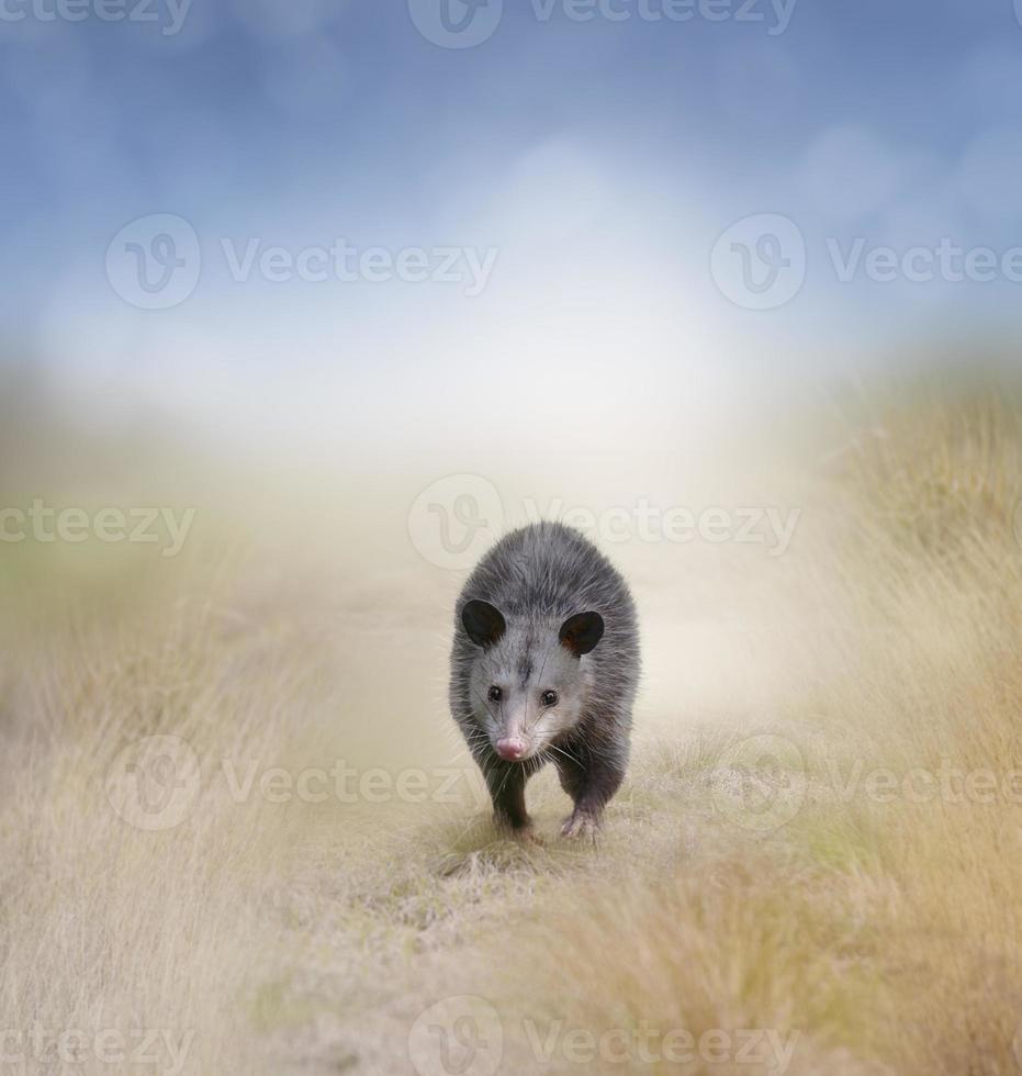 Opossum Walking photo
