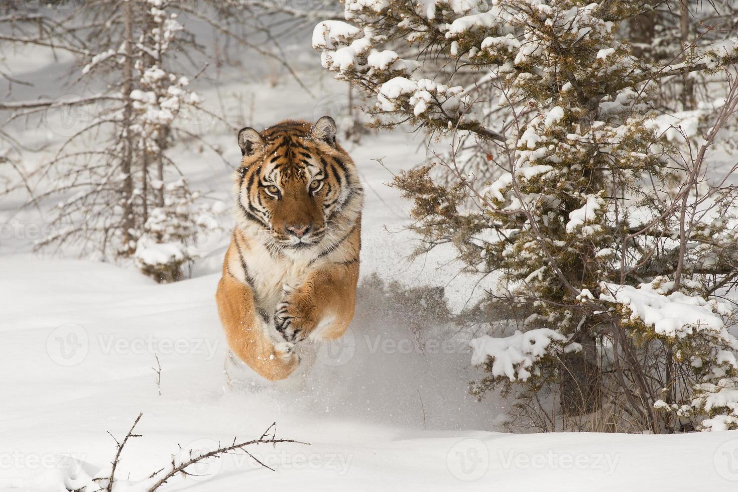 Tigre siberiano adulto raro en escena de invierno cubierto de nieve foto