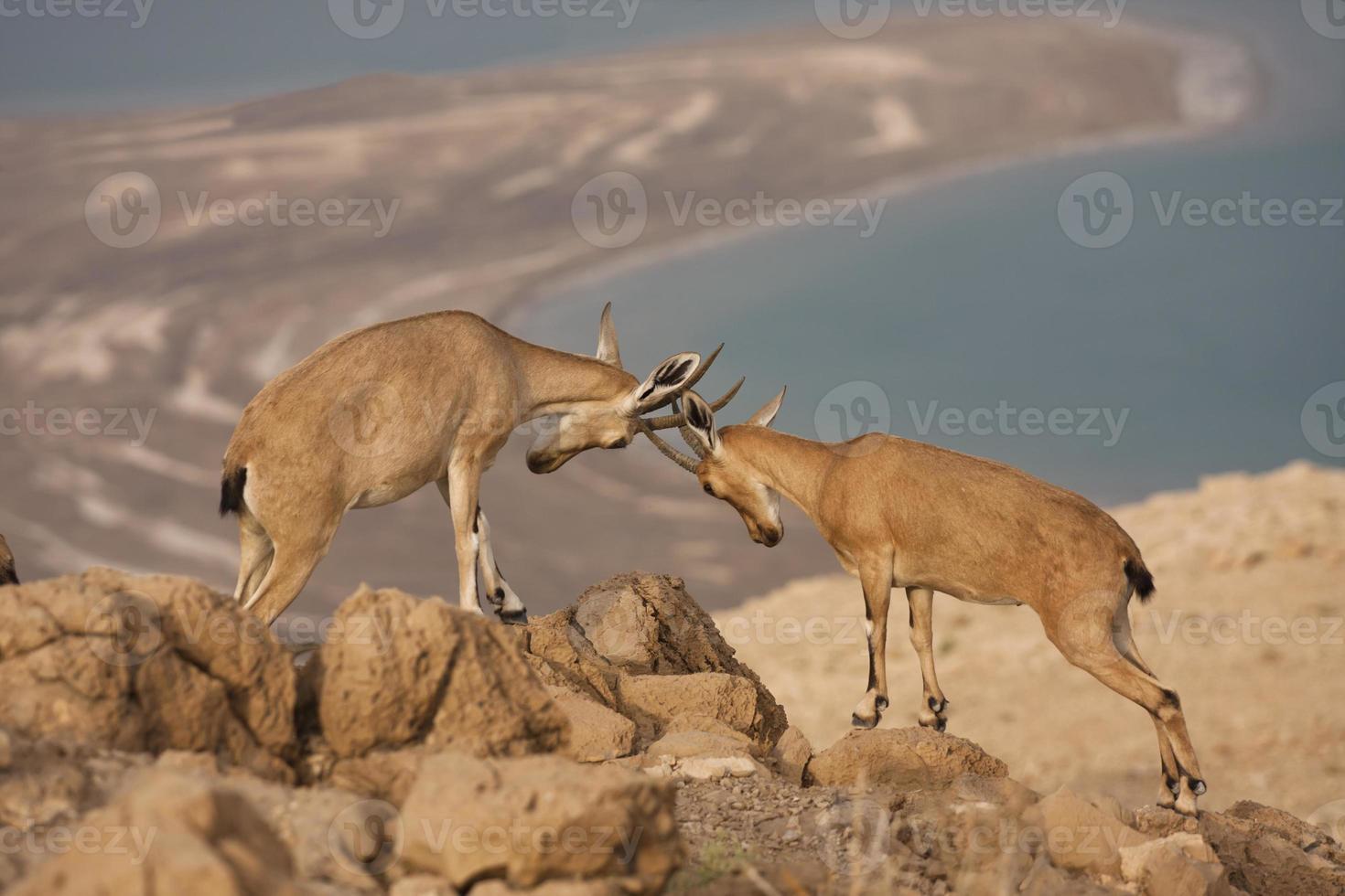 cabra montés salvaje - desierto del mar muerto, israel foto