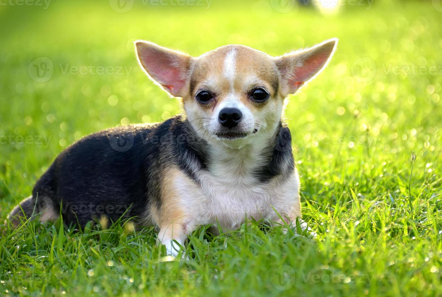 Lady Chihuahua goes chilling photo