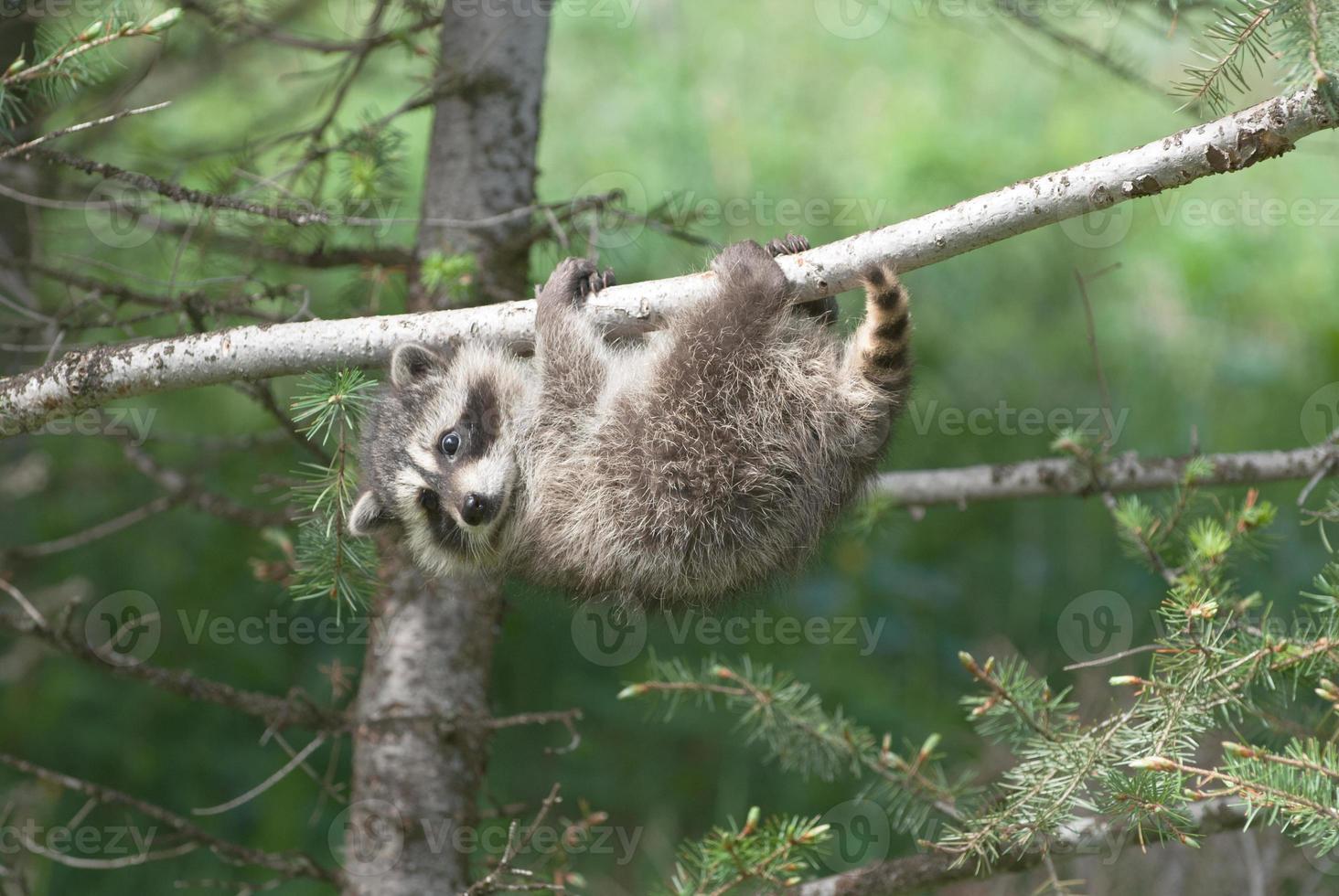 mapache bebé en árbol foto