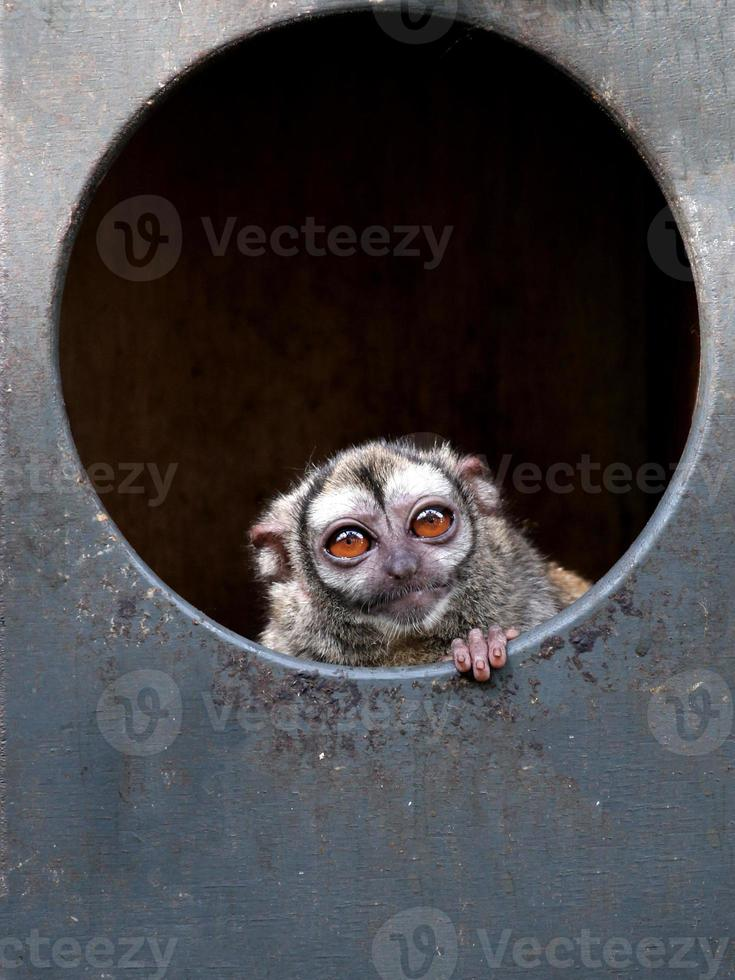 Owl monkey photo