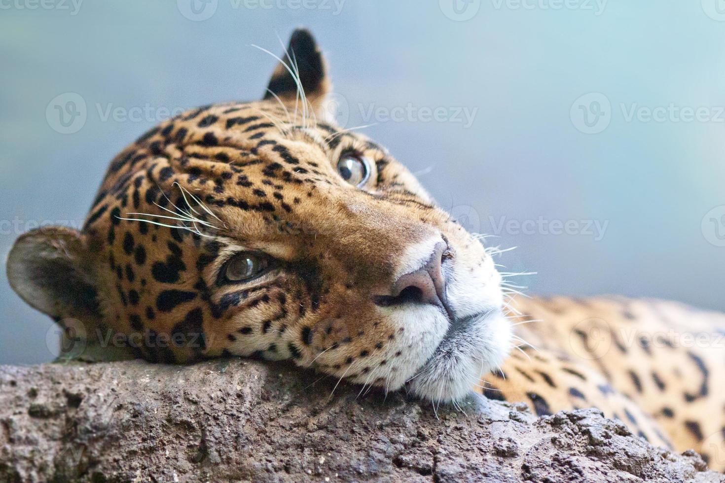 jaguar - panthera onca foto