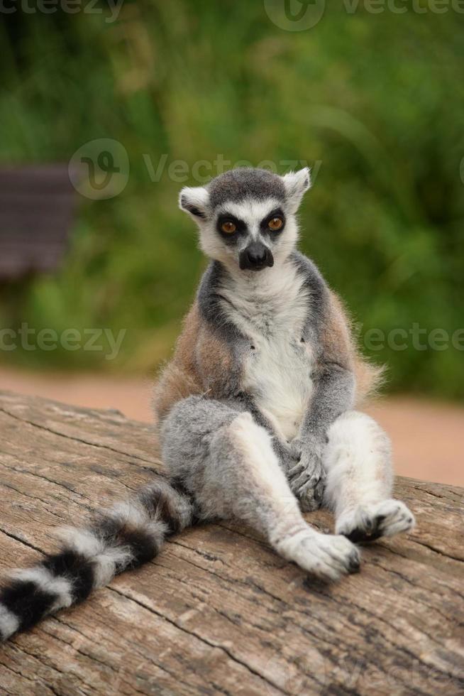 Lemur photo