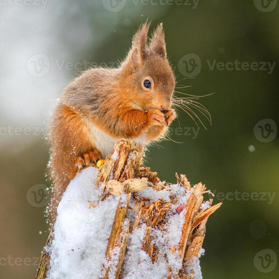 Ardilla roja alimentándose en invierno inglés foto