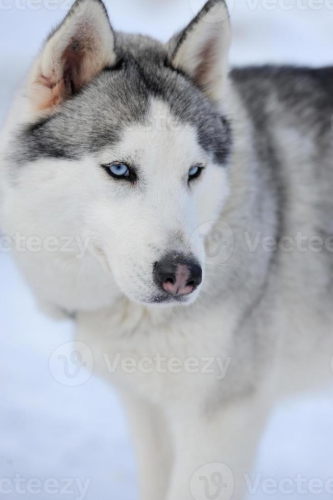 Siberian husky dog portrait photo