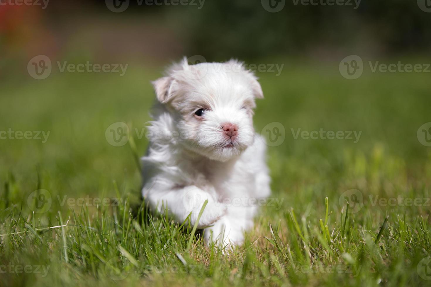 cute Maltese puppy running photo