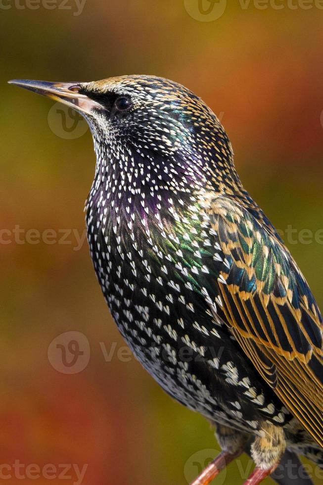 Starling  (Sturnus vulgaris) photo